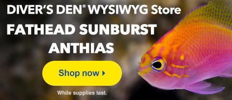 Fathead Sunburst Anthias