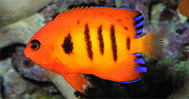 Coral-Friendly Fishes: Selecting Fishes for your Reef Aquarium<br> Part 1: Understanding Food Habits