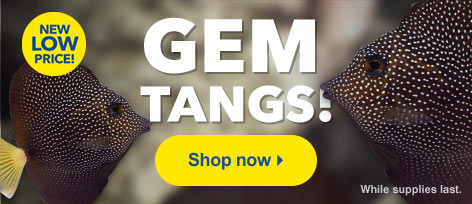 New Low Price on Gem Tangs (Zebrasoma gemmatum) at LiveAquaria®
