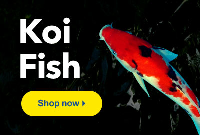 Shop LiveAquaria for High Quality Pond Koi Fish Shipped Directly to Your Door