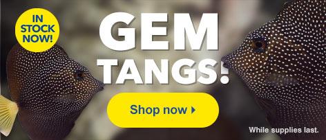 Gem Tangs (Zebrasoma gemmatum) in stock now at LiveAquaria