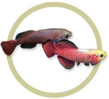 Guentheri Killifish