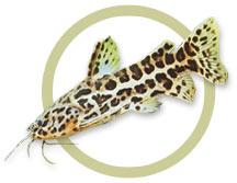 Jaguar Catfish