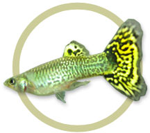 Green Cobra Guppy