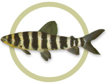 Banded Leporinus