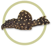 Tooth-Nose Pleco (L-07a)